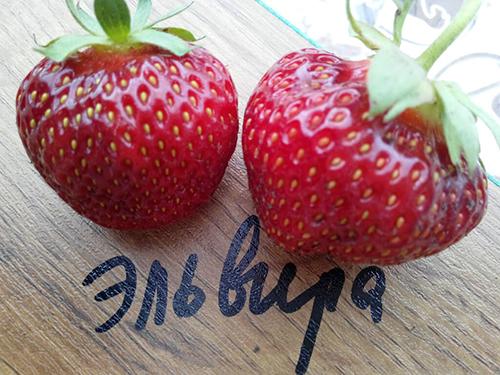 клубника эльвира фото спелых ягод