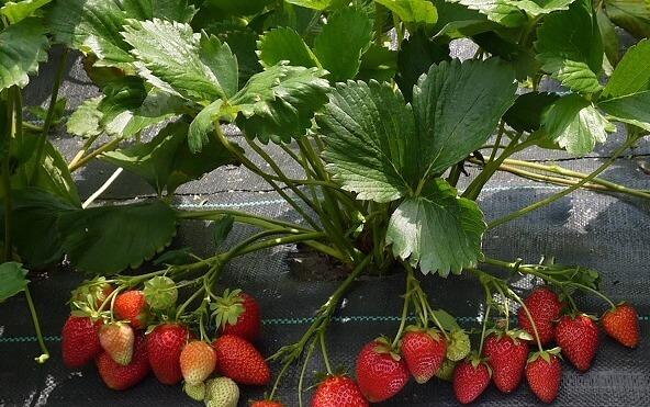 клубника фурор фото спелых плодов