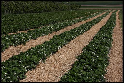 Выращивание клубники по соломе 63