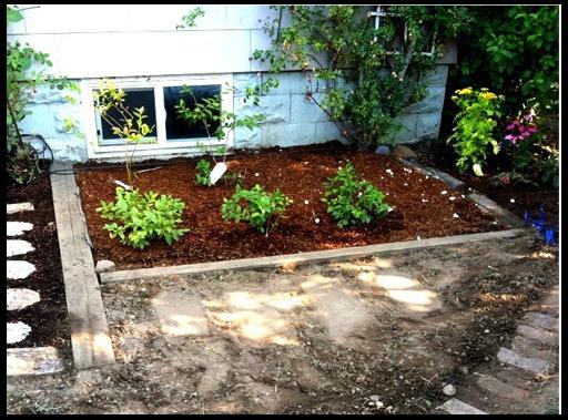 черника в саду