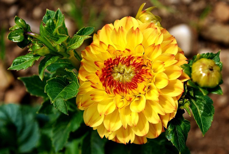 Георгины (фото) простое выращивание - правильный уход и