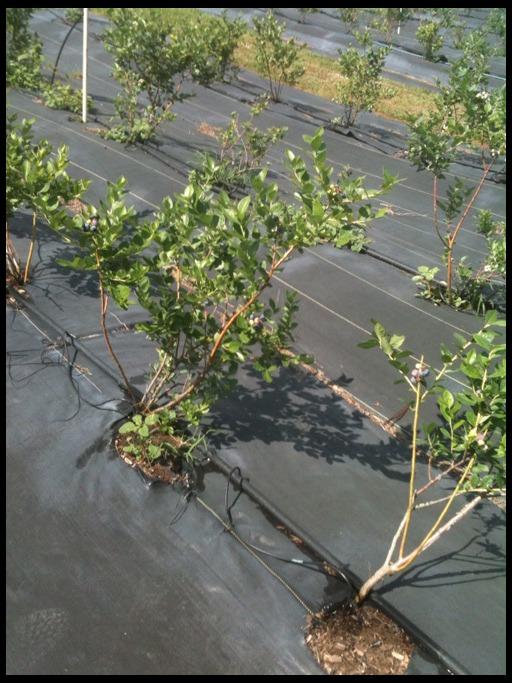 выращивание черники в саду