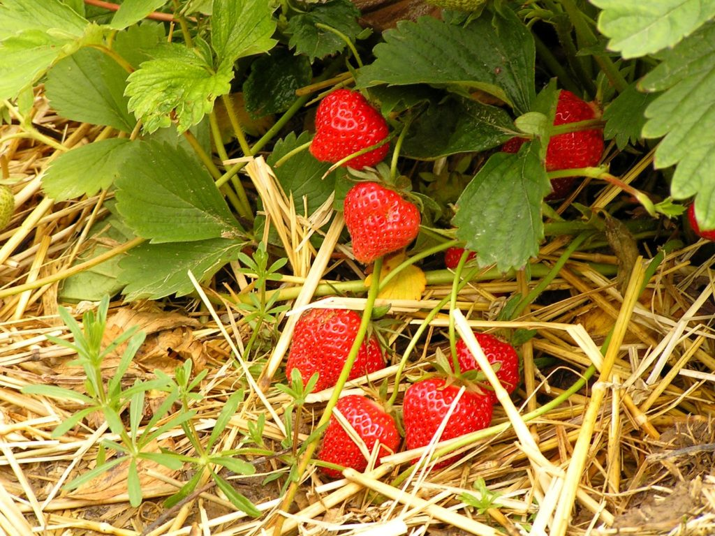 Выращивание клубники по соломе 84