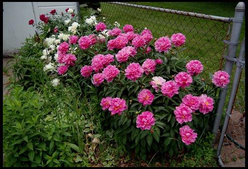 Посадка пионов весной в грунт