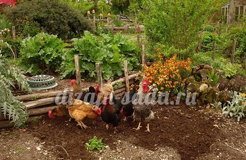 держать кур в саду
