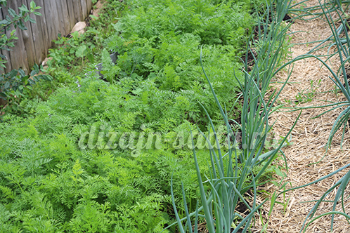 совместные посадки моркови и лука