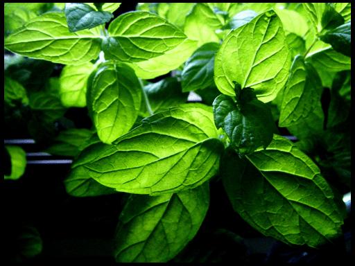 выращивание мяты перечной