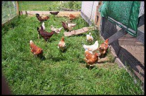 разведение кур в саду