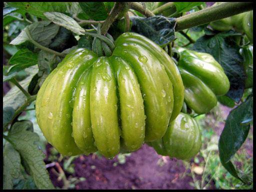 любимые сорта томатов для урала