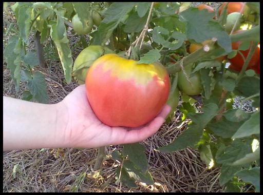 томаты для открытого грунта 2013