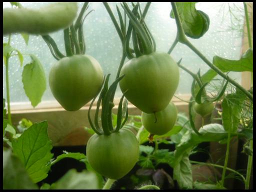 лучшие сорта томатов этого года