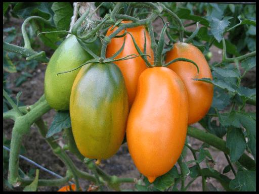 какие помидоры сажать в открытый грунт