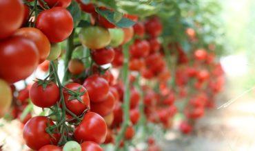помидоры открытого грунта лучшие