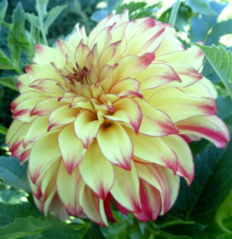 Сорта и фото георгинов цветы