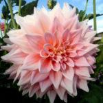 георгин розовая диадема