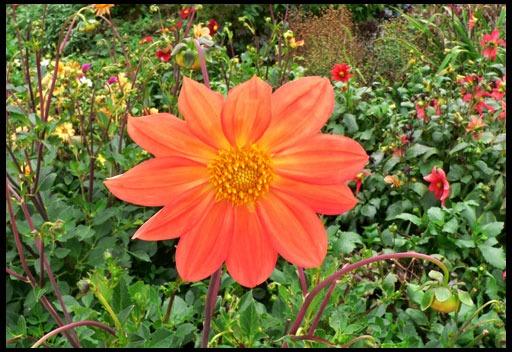 георгины оранжевого цвета