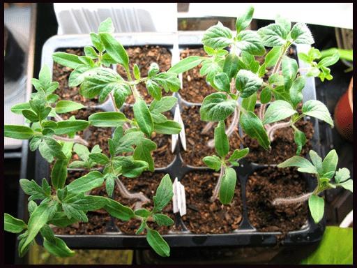 когда и чем подкармливать рассаду томатов