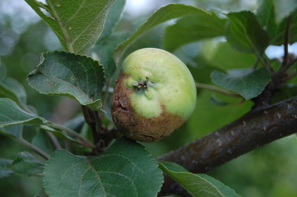 парша яблони фото