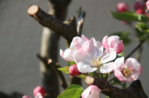 когда обрабатывать яблони