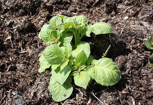 как вырастить крупный картофель