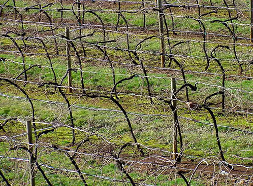 Виноград укрытие на зиму