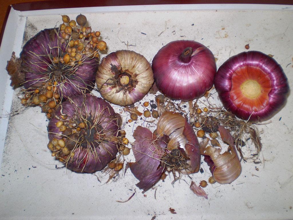 отделять детки от луковиц гладиолусов