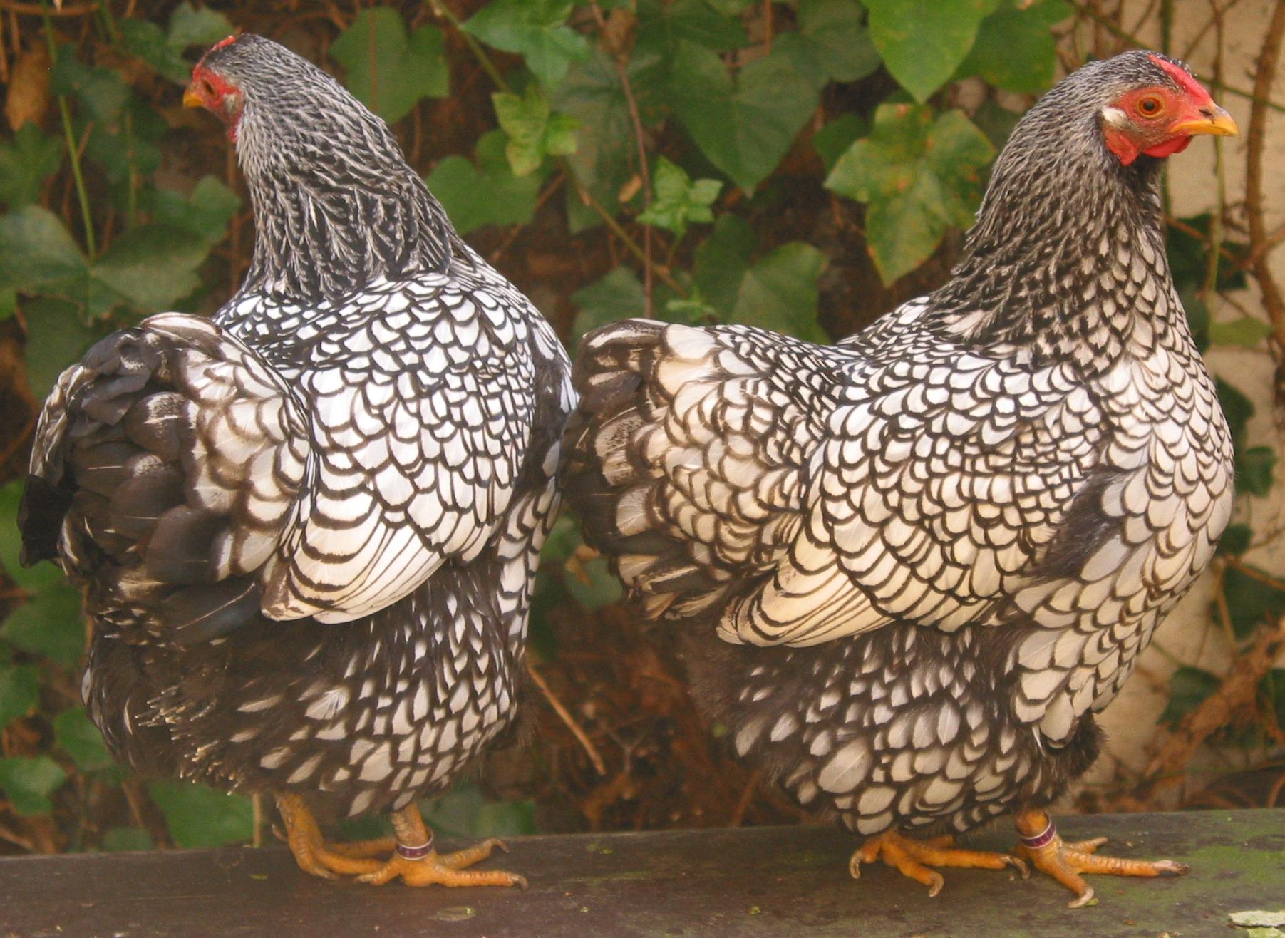 Тульские курицы фото