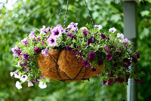 петуния в саду