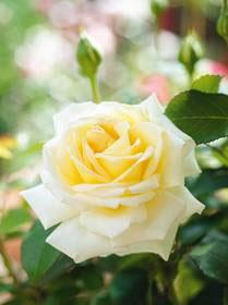 Рабатковые (флорибунда) и чайно-гибридные розы