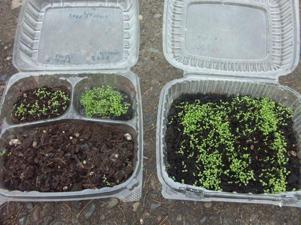 Семена для выращивания табака в домашних условиях