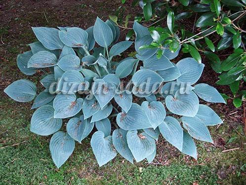с голубыми листьями хоста