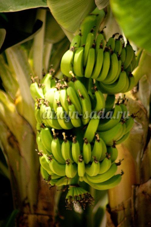 выращивание бананов на подоконнике