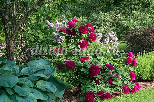 сочетание хосты с розами