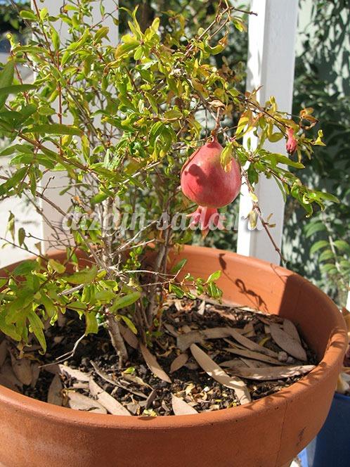 выращивание граната на подоконнике