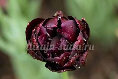 тюльпаны махровые поздние