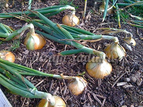 Выращивание лука-порея, полезные свойства, хранение 66