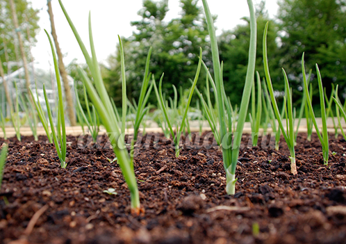 выращивание лука репки