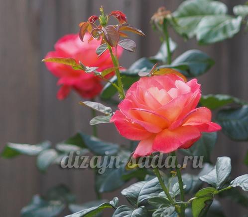 Выращивание розы на английском 63
