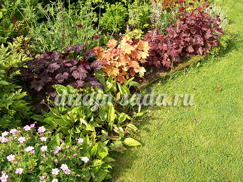 сочетание гейхеры с цветами