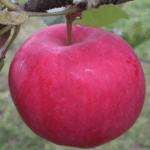 яблоня осеннее наливное