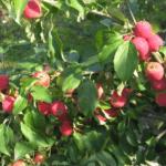 сорт Алтайское багряное
