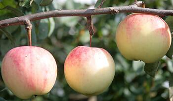 Сорт яблони Куликовское
