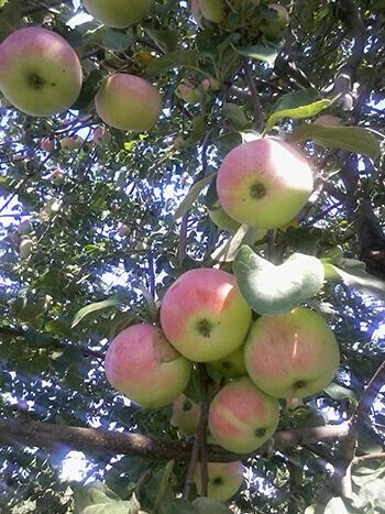 анис алый яблоня