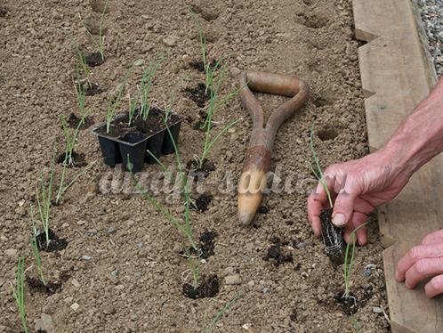 выращивание лука рассадой