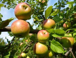 сорт яблони Володарка фото