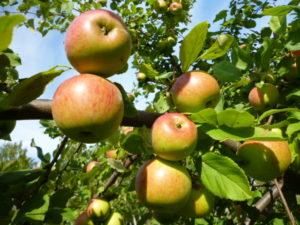 яблоня Володарка фото