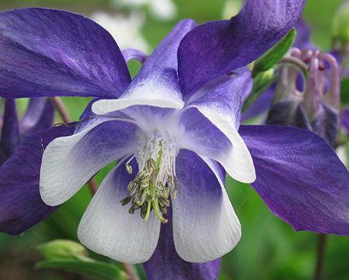 красивые многолетние цветы фото