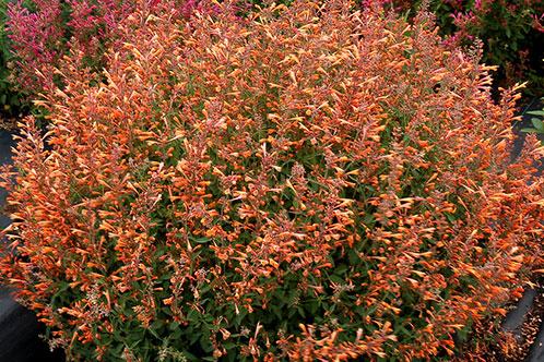 plante med lyserøde eller blå blomster