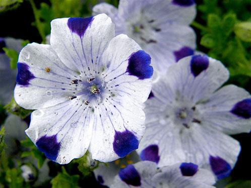цветы Немофила фото