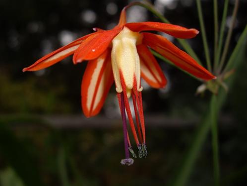 Фото цветка калачик